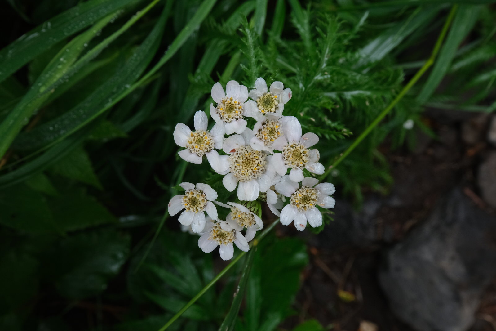 高山植物撮影のコツ(ss早い) (2)